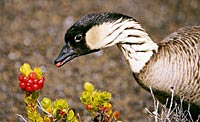 Hawaiian Nene, Hawaii's State Bird