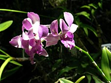 Big Island, Orchid Island, orchids