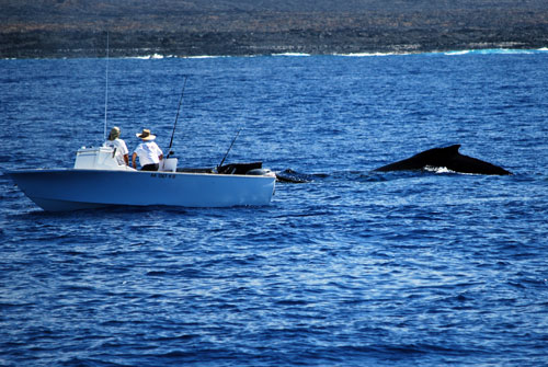 Humpback Whales, Whale waching, Big Island, Hawaii