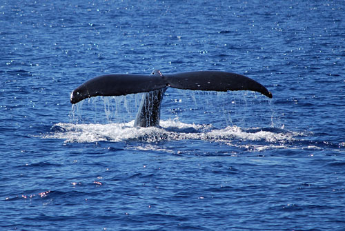 Whale waching, Big Island, Hawaii