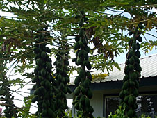 papayas, papaya tree, grow papaya, garden papayas, papaya plant, Hawaii Vacation Rentals, Hawaii Vacation Rentals, Big Island Vacation Rentals, Big Island Hawaii, Kohala Coast, Aloha Vacation Cottages